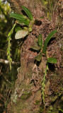 Bulbophyllum sambiranense