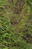 Habenaria chloroleuca