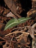 Disperis sp. Young plant.