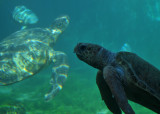 Sea turtles at Kelonia.