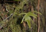 Aeranthes tenella var. borbonica. Close-up side.