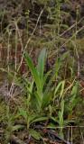 3 terrestrial species. Habenaria praealta, Cynorkis rosellata and Benthamia sp.
