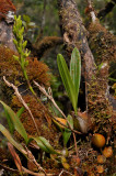 Bulbophyllum cylindrocarpum.