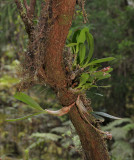 Bulbophyllum macrocarpum