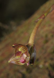 Bulbophyllum macrocarpum. Close-up.