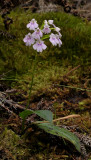 Physoceras sp. aff. boryanum.