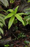 Habenaria undulata