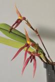 Bulbophyllum levanae.