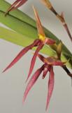 Bulbophyllum levanae. Closer.
