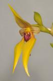 Bulbophyllum amplebracteatum subsp. orthoglossum.