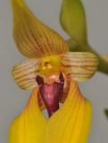 Bulbophyllum amplebracteatum subsp. orthoglossum. Close-up.