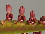 Bulbophyllum falcatum var. velutinum. Close-up.