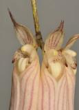 Bulbophyllum longissimum. Close-up.