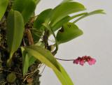 Bulbophyllum coroliferum