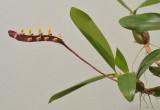 Bulbophyllum falcatum var. falcatum
