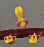 Bulbophyllum falcatum var. falcatum. Close-up.