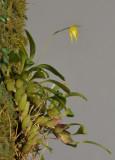 Bulbophyllum discolor
