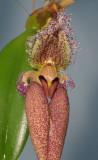 Bulbophyllum fascinator. Close-up.