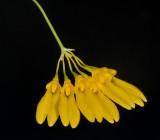 Bulbophyllum retusiusculum. Closer.
