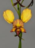 Diuris corymbosa. Close-up.