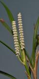 Ascidieria longifolia. Closer.