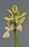 Orchis provincialis. Closer.