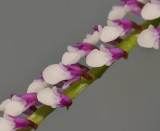 Schoenorchis gemmata. Close-up.