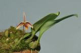 Bulbophyllum mystax