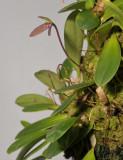 Bulbophyllum sp.