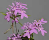 Epidendrum centropetalum. Closer.
