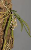 Parapteroceras odoratissimum.