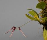 Bulbophyllum delitescens