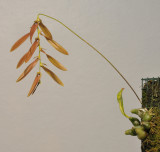 Bulbophyllum kanburiense