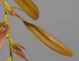 Bulbophyllum kanburiense. Closer single flower.