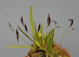 Bulbophyllum linearilabium c.f.
