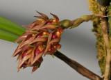 Bulbophyllum singaporeanum. Closer.