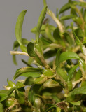 Bulbophyllum absconditum