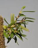 Bulbophyllum betchei aff.