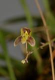 Bulbophyllum orbiculare