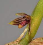 Bulbophyllum betchei aff. Close-up.