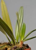 Bulbophyllum ustusfortiter