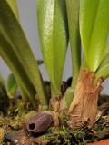 Bulbophyllum ustusfortiter. Closer.
