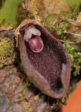 Bulbophyllum ustusfortiter. Close-up opened flower.