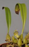 Bulbophyllum apertum