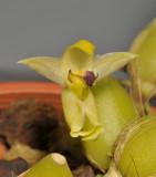 Bulbophyllum apertum. Close-up.