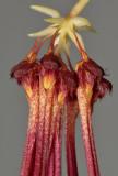 Bulbophyllum habrotinum. Close-up.