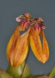 Bulbophyllum sp. Vietnam. Close-up.