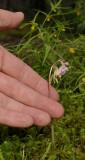 Epipogium aphyllum with hand.