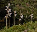 Epipogium aphyllum