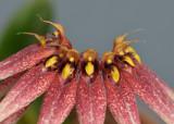Bulbophyllum cercanthum. Close-up.